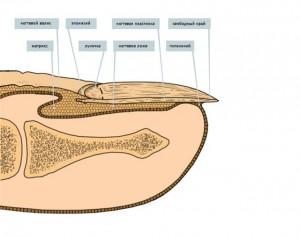 Строение ногтя ноги